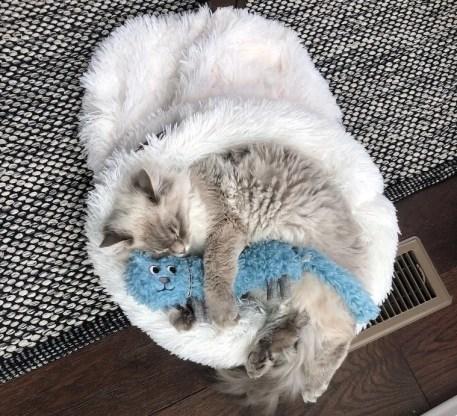 Siberian kitten sleeping in Litterbox.com furry cat sac - why do cats sleep so much?