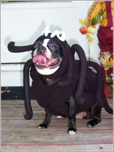 Boston Terrier Halloween Costume Showcase 2007