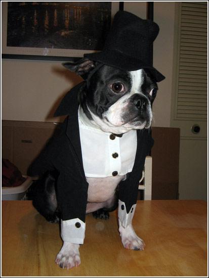 Boston Terrier Halloween Costume Showcase 2006