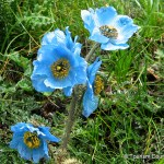 Bhutan National Flower Blue Poppy