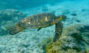 Big Island of Hawaii turtles