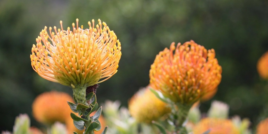 Cape Town Wildflowers from early September make it a great time to visit | Best time to Visit Cape Town Little City Trips