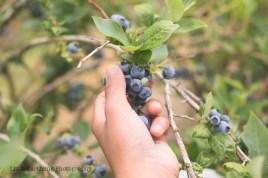 blueberry-picking-2202