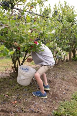 blueberry-picking-2208