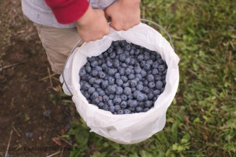 blueberry-picking-2247