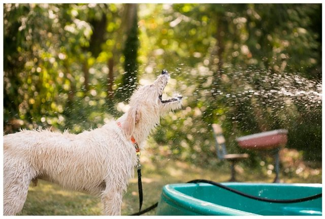 Our labradoodle, Frodo, loves to play in the water.