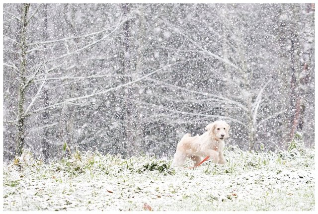 Labradoodle playing in the snow.