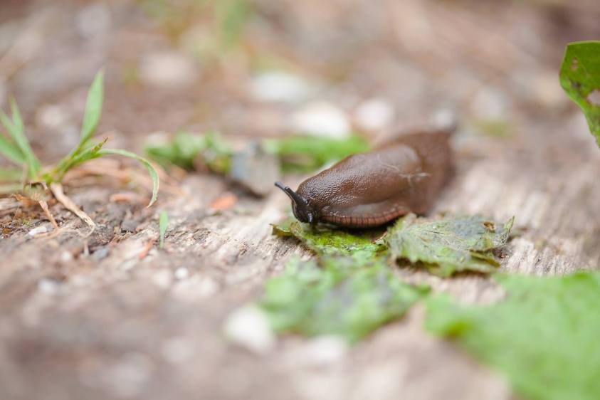 A beautiful macro image of a slug in the Pacific Northwest.