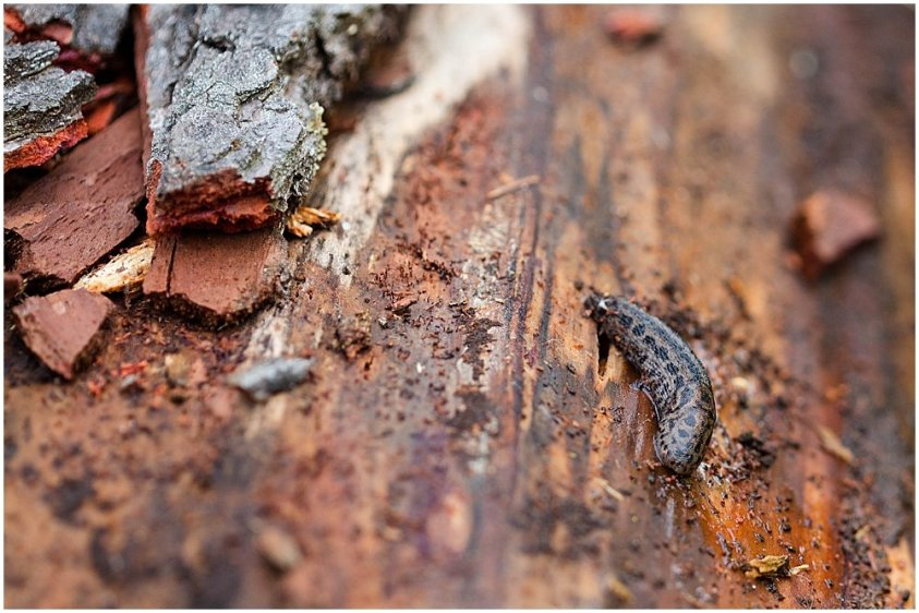 Slug on a rotten tree in the Pacific Northwest.