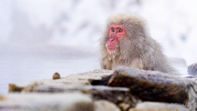 雪猴 泡溫泉猴子 snow monkey 野猿公苑