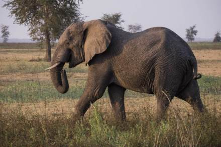 African-Elephant-walking-Gorongosa-Mozambique