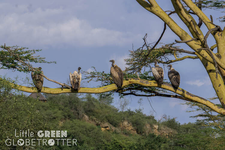 Vultures-Nairobi-National-Park-Kenya