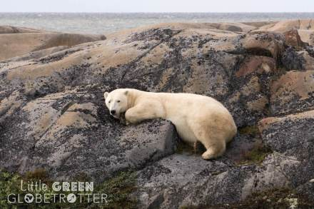 Polar-bear-Churchill-Canada