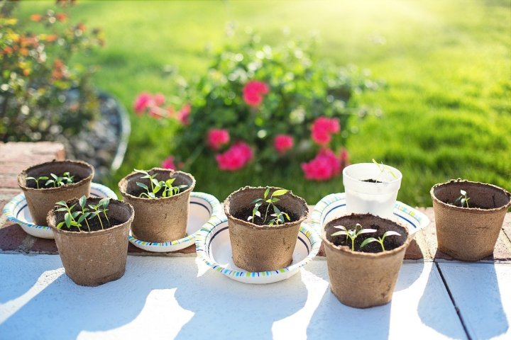 A white table with seedlings in peat pots. A rose bush in the background.
