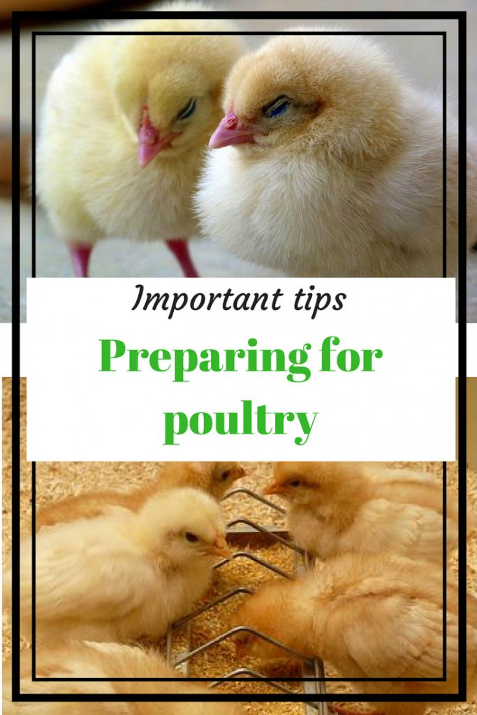 Important tips for preparing for poultry. Two baby chicks, baby chicks eating from a feeder