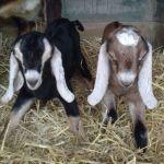 1 black Nubian newborn baby and 1 brown Nubian newborn baby goat
