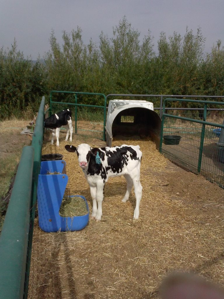 Holstien Calves