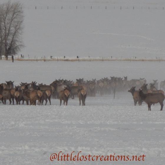 Elk kicking up snow dust
