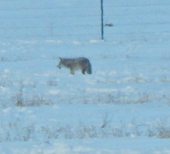 The coyote eating a vole.