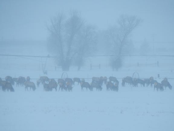 Elk in snowing and blowing snow