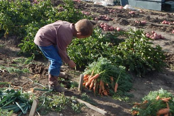 Child working piling up carrots in the garden
