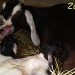 Nanny goat with 2 white twin girls Zoe