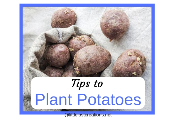 Tips to plant potatoes, potatoes in a bag