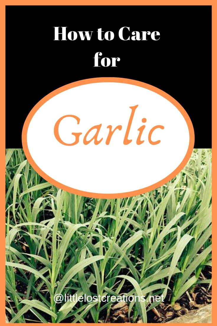 How to care for garlic. Garlic growing on the bottom of page