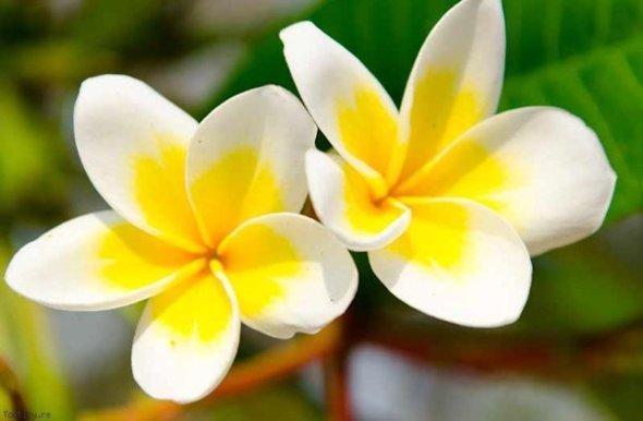 fleur_tiaré_monoi_tahiti