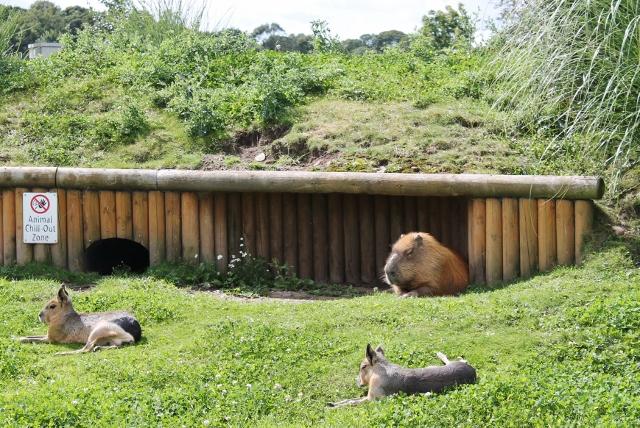 Capybara and Maras