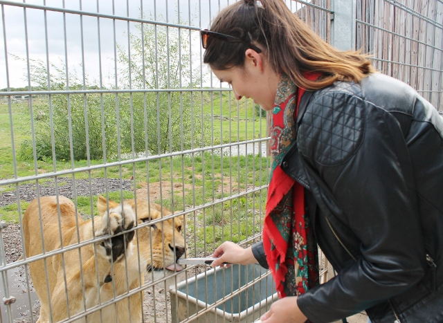 Shvonne feeding a lion