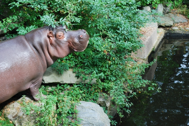Hippo at Dublin Zoo