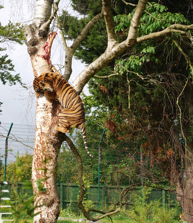 Tiger climbing a tree to get his dinner at Dublin Zoo