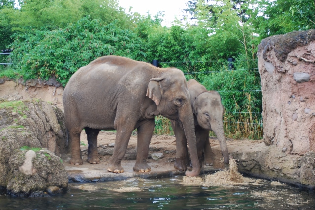 Adult and baby elephants at Dublin Zoo