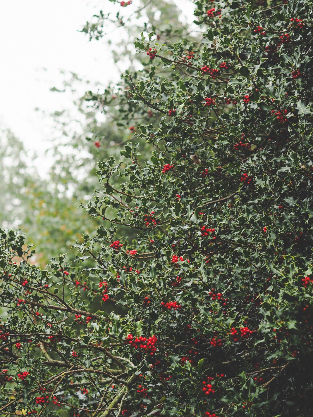 kew gardens holly bush