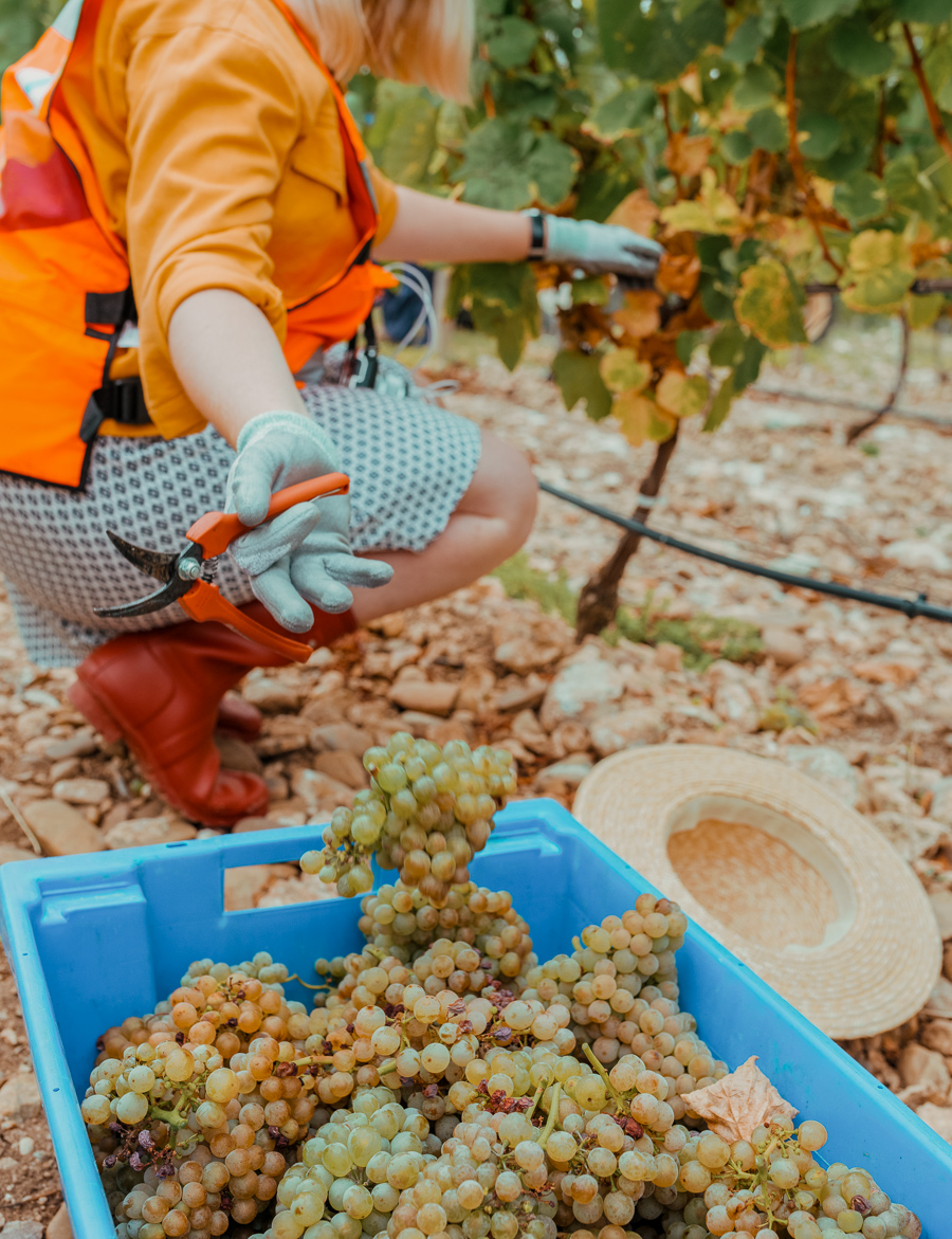 picking grapes at the campo viejo vineyard
