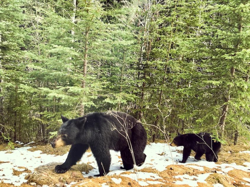 Bears walking along the road, Jasper NP