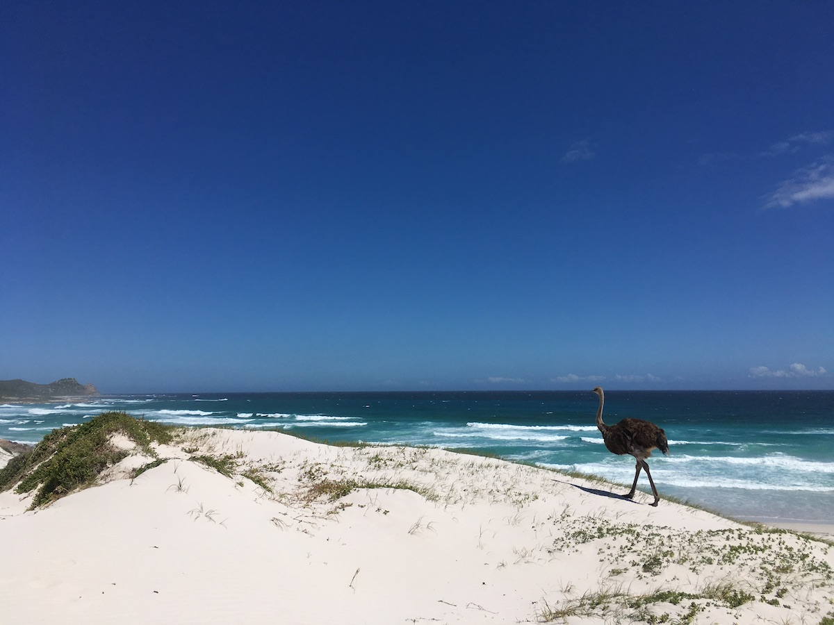 Wild ostrich at Platboom Beach in Cape Point Nature Reserve