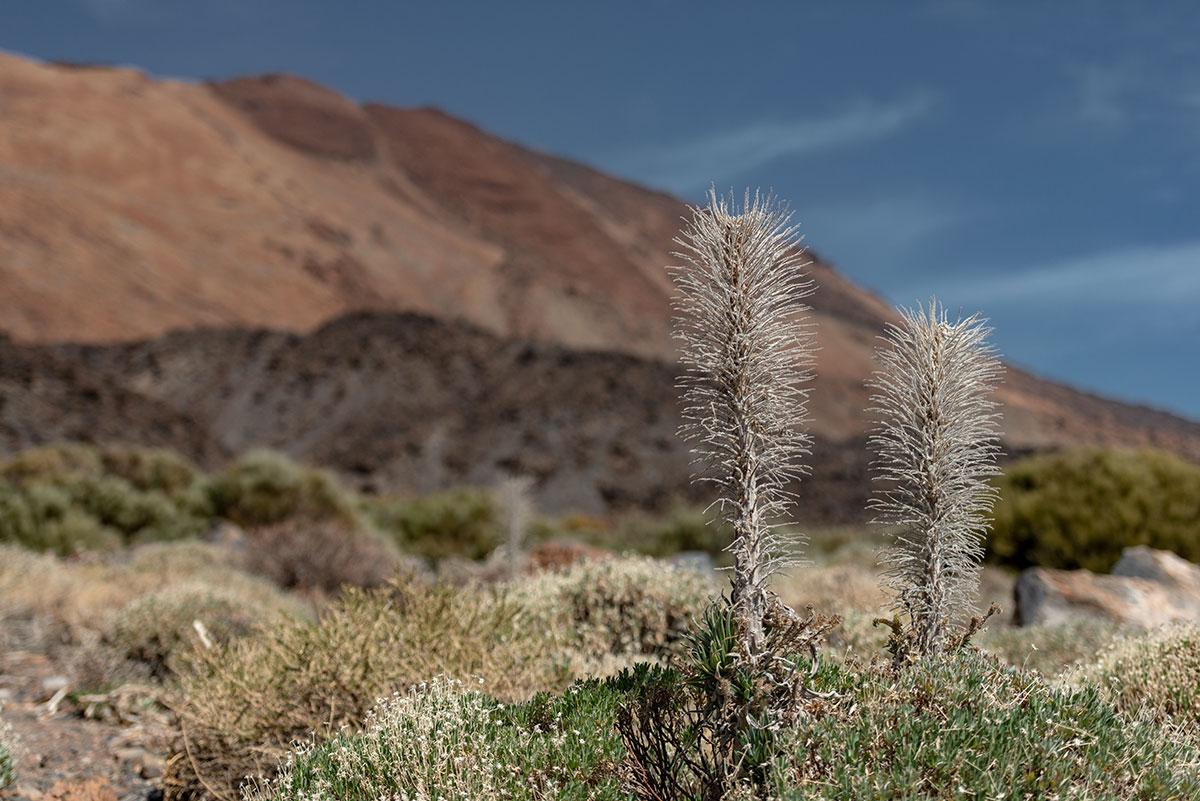 Volcanic flora Teide National Park