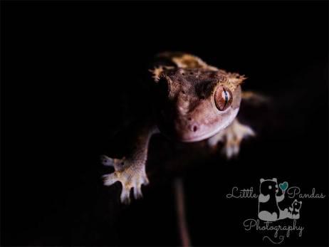 Photographer Hythe Kent lizard gecko crestie