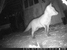 Fox cub close up