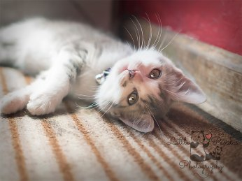 Grey kitten laying in the sun