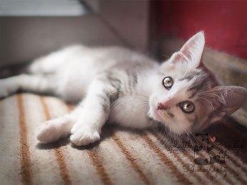 Grey kitten sunbathing