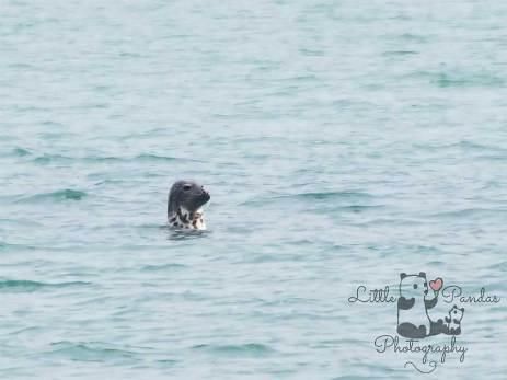 Grey seal in water off Folkestone