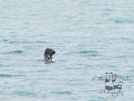 Grey seal in water off Folkestone