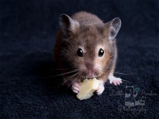 Hamster eating cheese