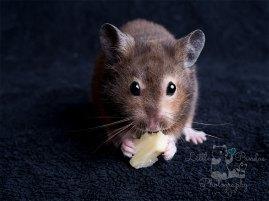 Hamster eating cheese