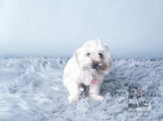 Little white dog