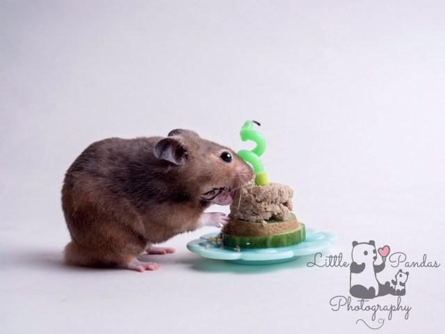 Hamster cake smash hamster eating cake