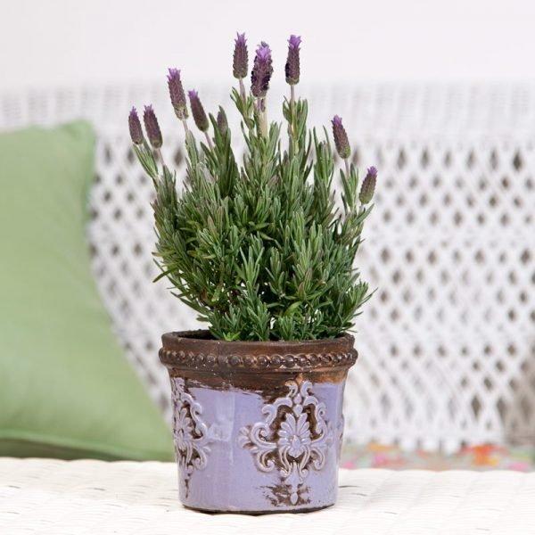 Planting lavender in pots  Little Piece Of Me